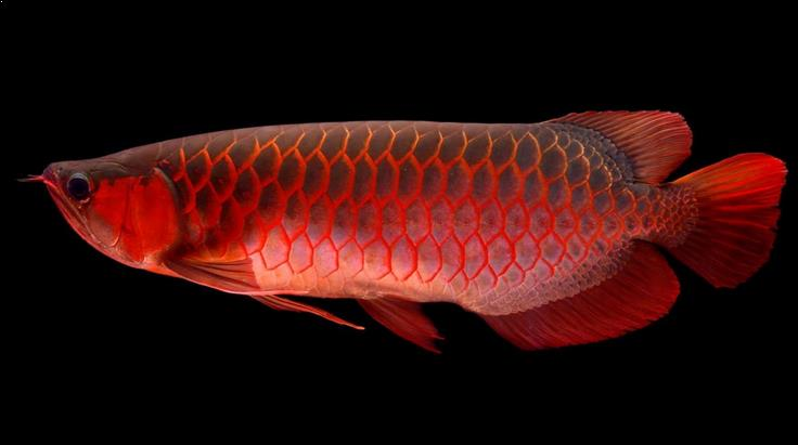 jual arwana super red